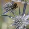Insectes butineurs (5)