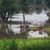 Dans les rizières cambodgiennes