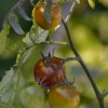 Dernières tomates du jardin