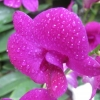 Water drops on orchid, Singapore Botanic...