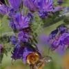 Insectes butineurs (3)