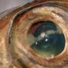 Oeil de poisson