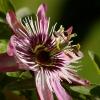 Passiflore rose