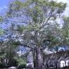 Arbol de ceiba plantado en 1905, Hacienda...
