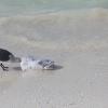 Bird eating fish, Isla Holbox, Mexico, January...